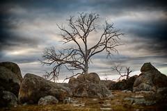 Dieback Gum Tree 1 (Eddy Summers) Tags: dieback gumtree monaro mannagum ribbongum eucalyptusviminalis kosciuszkoroad nsw australia drought pentax pentaxk1 pentaxaustralia