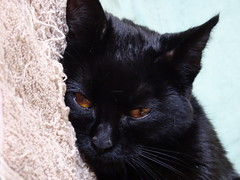 Wild Child (knightbefore_99) Tags: cat kitty kitten wild child black noir cool feline furry pretty golden eyes best awesome tired sweet baby