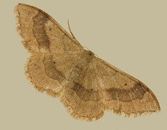 Riband Wave (Idaea aversata) (bramblejungle) Tags: riband wave idaea aversata moth leipdoptera