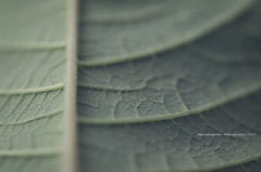 Reverse (Graella) Tags: macromondays macro hoja leave fulla verd verde green nature naturaleza rayas lineas stripes texture textura monocromo