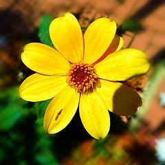 A little pop of sunshine! (Edale614) Tags: flower nature northcarolina biltmore