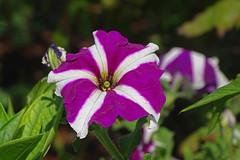 DSC01700 (gregnboutz) Tags: flower bloomingflower flowers bloomingflowers brightflowers colorfulflower colorfulflowers gardenflowers macro macros colorfulmacro colorfulmacros macroflower macroflowers
