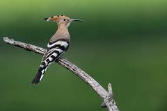 07-8118 (fix.68) Tags: huppefasciée oiseau