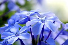 140321 Bleu pourpre, Paea, Tahiti (Christian Chene Tahiti) Tags: canon 7d paea tahiti macro couleur color pf flore nature fleur flower flores jardin garden closer plante extérieur profondeurdechamp