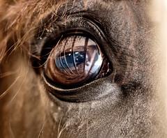 fence reflected in a horse's eye (marianna_a.) Tags: horse eye reflection self selfie equestrian mariannaarmata