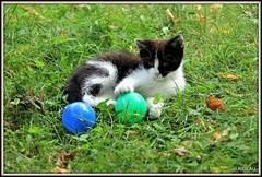 Récréation ! (Les photos de LN) Tags: kitten chat chaton chatte pet félin animaldomestique animaldecompagnie