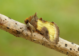 Burnished Brass Diachrysia chrysitis
