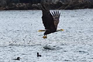 Bald Eagle snatching needlefish at Langara Island, Haida Gwaii