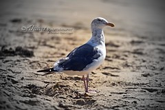 """gull of the sea"" (eDeaver Photography) Tags: california elporto manhattanbeach pacificocean westcoast ocean beach sand water surf surfer surfers sun sunset edeevo edeaver edeaverphotography digitalcreations creations nikon"
