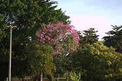 Jataí, Goiás, Brasil (Proflázaro) Tags: brasil goiás jataí parqueecológicodiacuy árvore bosque flores cidade natureza ecologia cerrado