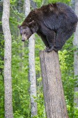 Black Bear Acrobat (Glatz Nature Photography) Tags: blackbear forest glatznaturephotography greatlakes minnesota nature nikond500 northamerica northwoods northernminnesota ursusamericanus vinceshutewildlifesanctuary wildanimal wildbear wildlife