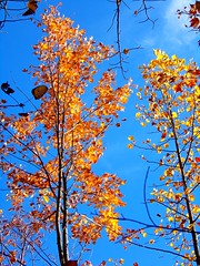 What a bright sunny day (shellfish152) Tags: hike clearskies blue sky orange fall trees tree