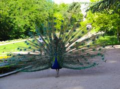 2017 SPM0152 Jardines del Campo del Moro in Madrid, Spain (teckman) Tags: 2017 europe jardinesdelcampodelmoro madrid peacock spain comunidaddemadrid es