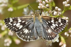 White Checkered-Skipper butterfly on California Buckwheat (Treebeard) Tags: whitecheckeredskipper pyrgusalbescens commoncheckeredskipper pyrguscommunis butterfly californiabuckwheat eriogonumfasciculatum polygonaceae sanmarcospass santabarbaracounty california