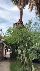 Video of Palm Tree Pruning And Debris Removal <> IMG_1740 (Chic Bee) Tags: garden maintenance work tree hazardous important tucson arizona video iphone7plus