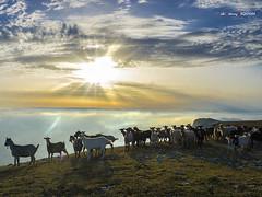 Contraluz y cabras (Jabi Artaraz) Tags: jabiartaraz jartaraz zb euskoflickr cabras montaña beriain navarra nafarroa nubes contraluz bruma amanecer sunrise sol sun