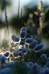 Morning light (evisdotter) Tags: light morning flowers blommor macro bokeh sooc nature dew dagg
