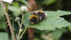 Bombus lucorum m. (Nick:Wood) Tags: insect bee bumblebee nature wildlife knowle solihull bombuslucorum whitetailedbumblebee macro