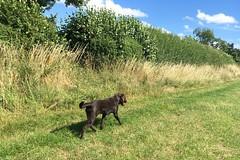 out for a walk (mistdog) Tags: ember chocolate labrador puppy dog field walk