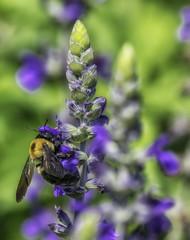 Bee_SAF8767 (sara97) Tags: bee endangered flower floweringplant insect missouri nature outdoors photobysaraannefinke pollinator saintlouis towergrovepark towergrovepark2017 urbanpark