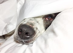 Goodnight (Cruzin Canines Photography) Tags: kerncounty iphone6plus portrait cute closeup pitbull domesticanimal bakersfield animals domestic animal cleo pit california califorina dog dogs american bull terrier pets iphone canine cleopitra mammal