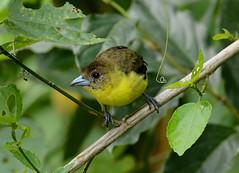 Lemon-rumped Tanager --- Ramphocelus icteronotus , female (creaturesnapper) Tags: tanagers birds ecuador southamerica mindo ramphocelusicteronotus lemonrumpedtanager
