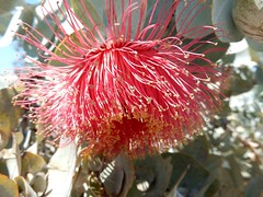 105_Perth_029_20151104_DSCN3510.jpg (urma2004) Tags: diashow länder australien bestimmen erlnichtweb erlweb flora kingspark westernaustralia