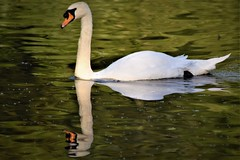 Reflection (Babudas a.k.a Thaikaden) Tags: tsbdas thaikaden nature photography birds reflection swan