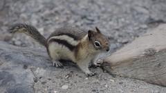 Alvin (naromeel) Tags: banff canada nature animal