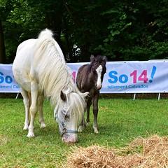 (cc) Thomas Le Floc'H (thomaslefloch) Tags: calvados poney hopladupeps naya roxy normandie poulain bénouville châteaudesenfants chateaudebénouville france fra