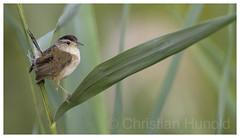 marsh wren (Christian Hunold) Tags: marshwren songbird bird bokeh marsh wetland phragmites commonreed sumpfzaunkönig johnheinznwr philadelphia christianhunold