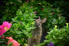Sniffing the Flowers (flashfix) Tags: july172017 2017inphotos canada nikond7100 nikon 100mm300mm bunny baby rabbit garden flowers nature mothernature downtown