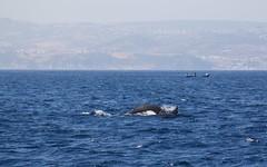 Orcas, Estrecho de Gibraltar (José Rambaud) Tags: orca orcinusorca orcas delphinidae mar sea straitofgibraltar estrechodegibraltar tarifa turmares seascape naturaleza nature wildlife wild cetáceos