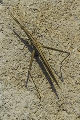 Toothpick grasshopper (Leptysminae) (Keith Kelly) Tags: anlongklong asia cambodge cambodia kh kampuchea keithkelly krakor leptysminae pursatprovince southeastasia toothpickgrasshopper country countryside farmland keithakelly rural pouthisat