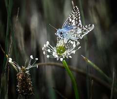 All Star Percher (Portraying Life, LLC) Tags: dbg6 da3004 hd14tc k1 michigan moth pentax ricoh unitedstates butterfly closecrop handheld nativelighting skipper