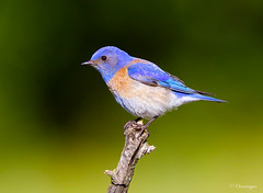 Western Blue (Omnitrigger) Tags: westernbluebird nature wildlife omnitrigger