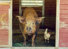 Barn Buddies (suzeesusie) Tags: pig chicken rescued farm sanctuary rescue animals bird barn california vegan friends love