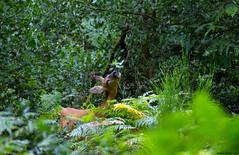 La ronce, c'est bon !!! (Phil du Valois) Tags: chevreuil chevrette faune sauvage libre forêt domaniale retz villers cotterêts ronce roe deer wild wildlife free roedeer grédelaroque