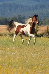 Pasture Trot ... (Alise Lamoreaux) Tags: horse horses equine oregon pasture explore