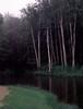 pink raindrops (post.ndakota) Tags: trees forest dark rain birches white shadows water darkwater green pinkrain michigan oldmillcreek foliage leaves grass creek raindrops millpond