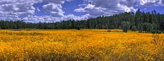 Pinetop Flowers (svubetcha) Tags: landscape flowers arizona sunset bridge hourse mission gas utah