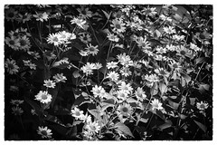 Nice group of Yellow Daisies in B&W (TAC.Photography) Tags: blackwhite blackandwhite daisies