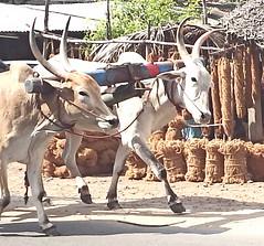India 2017 63 (megegj)) Tags: gert india