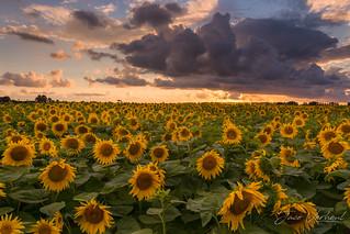 Sunflower-7