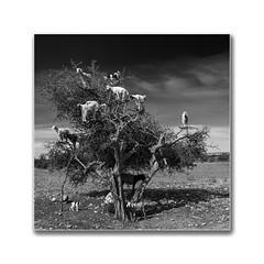 Tourist catcher (Karl-Heinz Bitter) Tags: marokko maroc morocco goats argantree ziegen arganbaum essaouira karlheinzbitter travel reisen blackwhite bw monochrom monochrome fineart framed