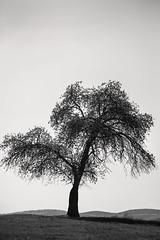 B&W Monocacy Tree 3-0 F LR 4-12-17 J218 (sunspotimages) Tags: trees tree nature landscape monochrome monocacy frederick bw blackandwhite monocacybattlefield frederickmd frederickmaryland maryland