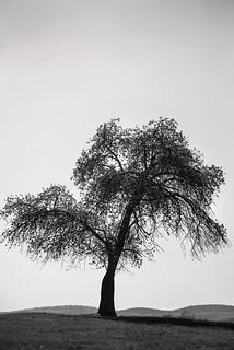 B&W Monocacy Tree 3-0 F LR 4-12-17 J218