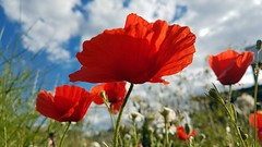 Poppies (srouve78) Tags: coquelicot poppies flowers nature