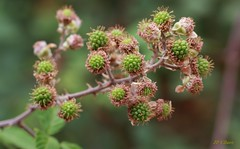 Mûres pas mûres (Ratatouye) Tags: mûre roncier ronce baies plante fruit corse corsica maquis