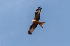 Red Kite  -  Rotmilan (CJH Natural) Tags: redkite red kite milan rot rotmilan bluesky sky blue nature natural wild wildlife vogel bird avian birdofprey bop bif birdinflight inflight nikon d500